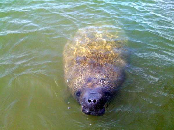 Manatee on a captain Rapps charter and tour in the Everglades