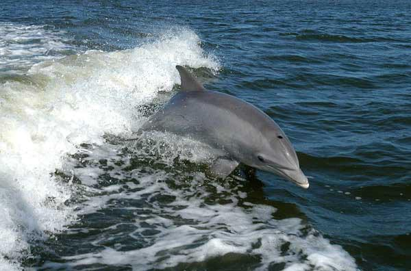 dolphin jumping on a Captain Rapps Everglades City and Chokoloskee tour and charter